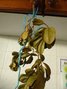 bois-d-inde-feuilles-cuisine