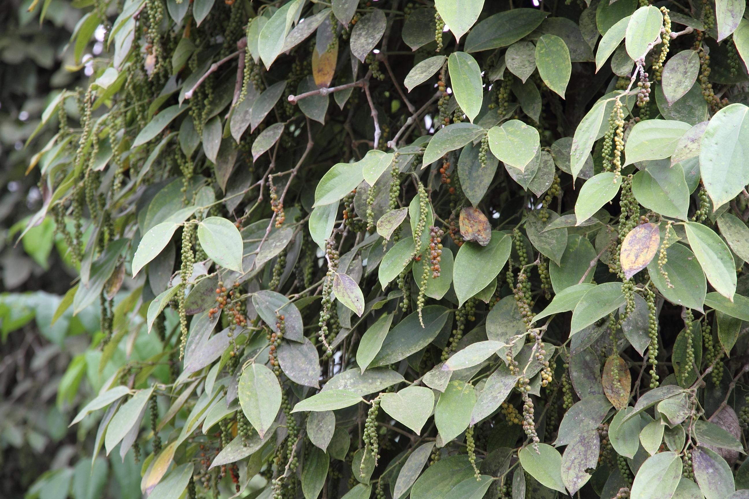 Huile essentielle Poivre noir (Piper nigrum)