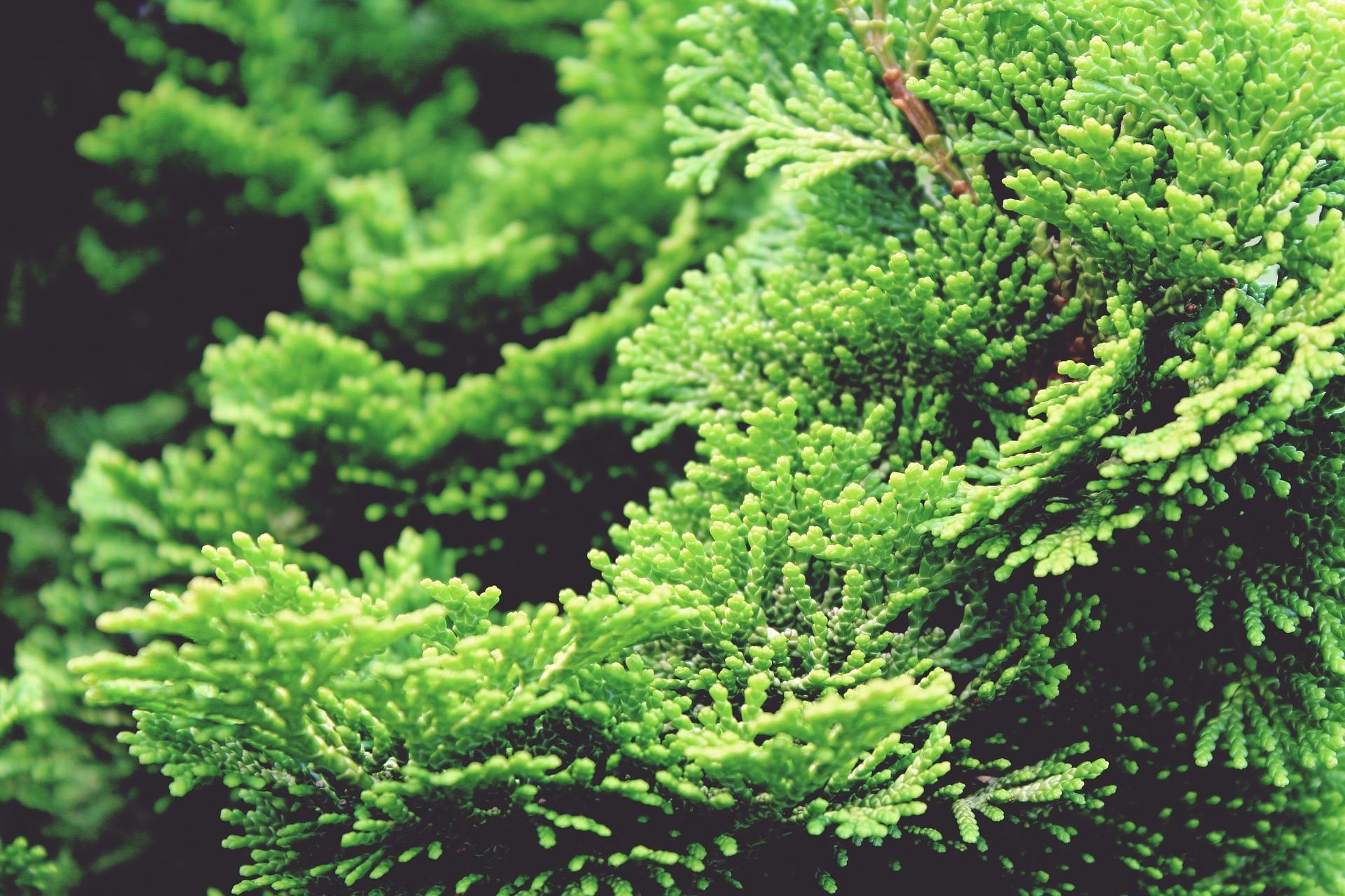 """Huile essentielle """"Cyprès"""" : toujours vert?"""