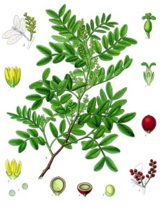 Pistacia_lentiscus_-_Köhler–s_Medizinal-Pflanzen-110