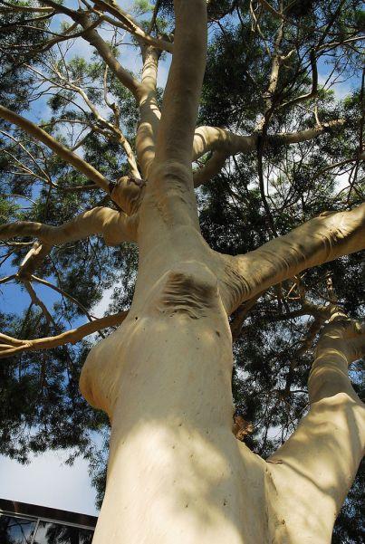 eucalyptus-citronné-rhumatisme