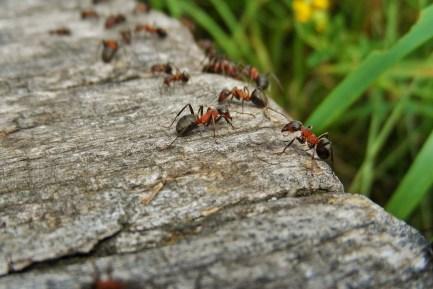 pheromone-insecte-HE