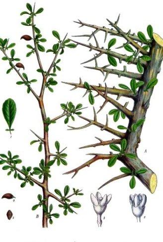 Huile-essentielle-commiphora-myrrha