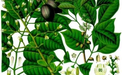 huile-essentielle-canarium-luzonicum