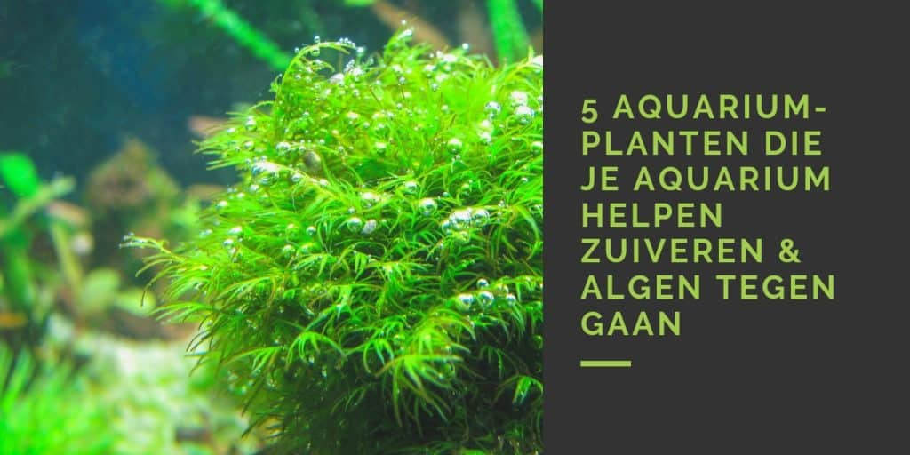 Aquarium planten die zuiveren