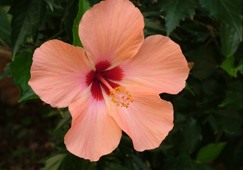 Hibiscus Plant Care And Its Benefits Planted Well