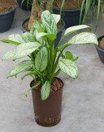 Aglaonema Christina (Hydroplant)
