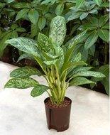 Aglaonema Green light (Hydroplant)