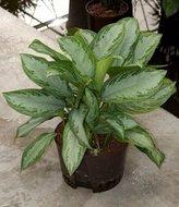 Aglaonema Silver bay (Hydroplant)