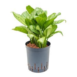 Aglaonema christina M hydrocultuur plant