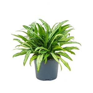 Aglaonema cutlass L kamerplant