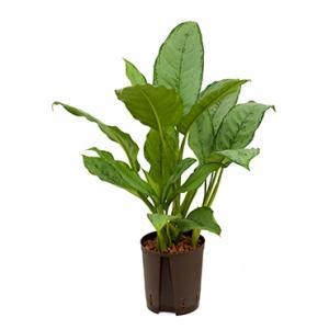 Aglaonema freedman S hydrocultuur plant