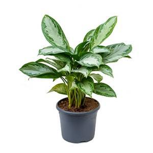 Aglaonema silver bay S kamerplant