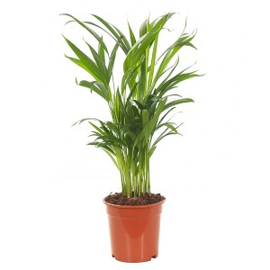 Areca Lutescens (Dypsis) - P 17 cm