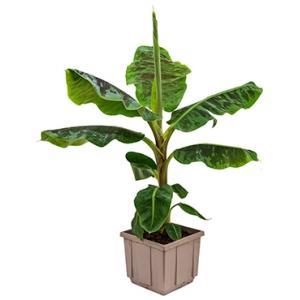 Bananenplant musa dwarf cavendish M kamerplant