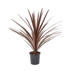 Cordyline red star S kamerplant