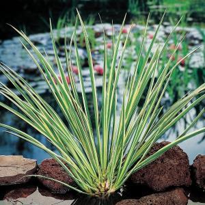 Dwergkalmoes (Acorus gramineus) moerasplant - 6 stuks