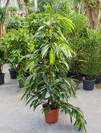 Ficus Amstel King 150 cm. (Kamerplant)