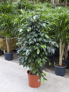 Ficus Danielle 140 cm. (Kamerplant)