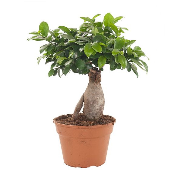 Ficus Ginseng - P 17 cm