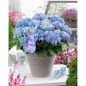 "Hydrangea Macrophylla Music Collection ""Blue Ballad""® boerenhortensia - 25-30 cm - 1 stuks"
