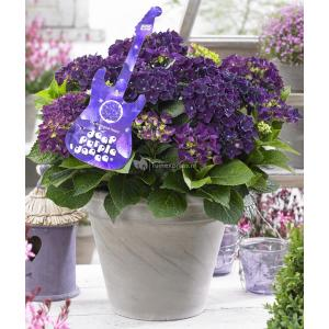 "Hydrangea Macrophylla Music Collection ""Deep Purple Dance""® boerenhortensia - 25-30 cm - 1 stuks"