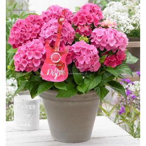 """Hydrangea Macrophylla Music Collection """"Pink Pop""""® boerenhortensia - 25-30 cm - 1 stuks"""