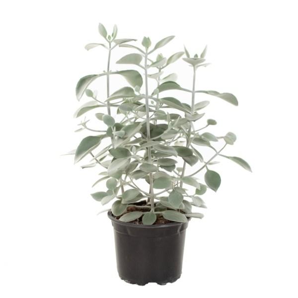 Kalanchoe Hildebrandtii (vetplant) - P 17 cm