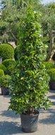 Laurus Nobilis (Laurier) Pyramide tuinplant