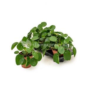 Pilea peperomioides pannenkoekenplant S kamerplant