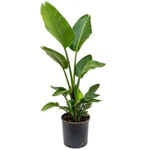 Strelitzia nicolai L kamerplant