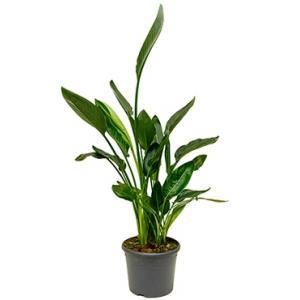 Strelitzia reginae M kamerplant