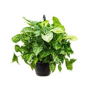 Syngonium podophyllum kamerplant