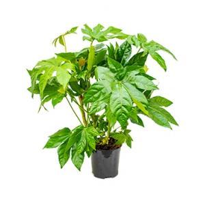 Vingerplant Fatsia japonica S kamerplant