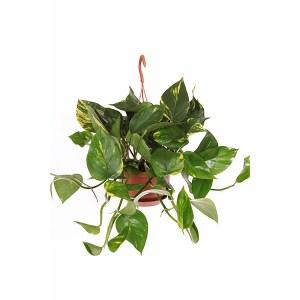 Epipremnum Pinnatum (hangplant) - P 15 cm