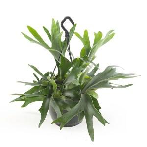 Hertshoornvaren (Platycerium Bifurcatum) - P 18 cm