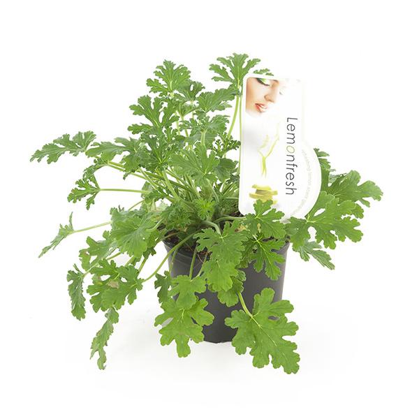 Anti Muggenplant (Pelargonium Graveolens) - P 12 cm