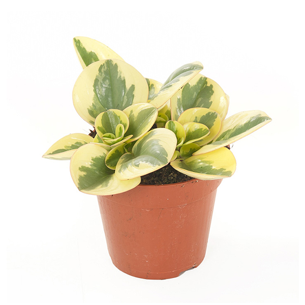 Peperomia Obtusifolia Variegata - P 12 cm