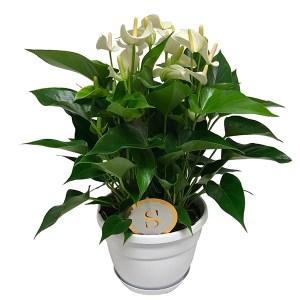 Anthurium 'White Champion' (Flamingoplant) - P 20 cm