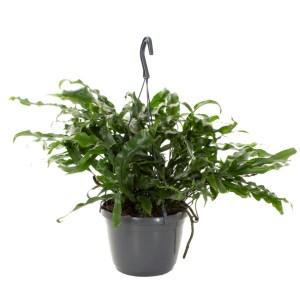 Microsorum Diversifolium (Kangaroevaren) - P 18 cm