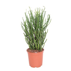 Potloodplant (Euphorbia Tirucalli) P 17 cm