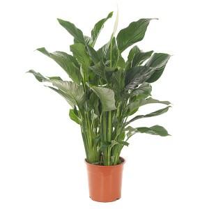 Spathiphyllum Silvana (Lepelplant) P 24 cm