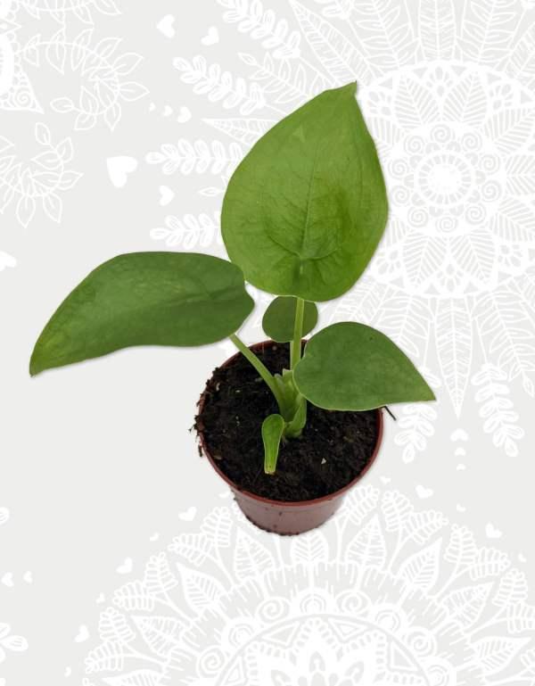 Alocasia Cucullata babyplant