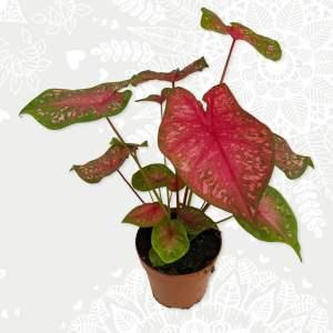Caladium Bicolor roze groen