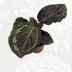 Calathea RoseOptica