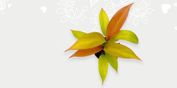 Kleurrijke plantjes philodendron prince of orange
