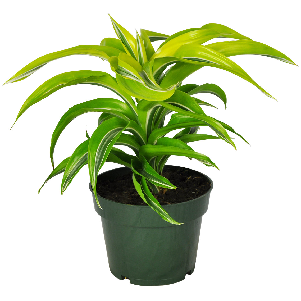 Dracaena Lemon Lime Tip