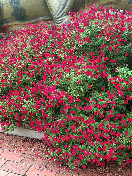 Strawberry Plant Varieties Australia