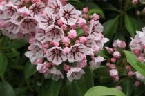Kalmia latifolia 'Peppermint'