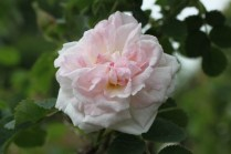 Rosa 'Mannings Blush'